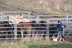 Free Nature verhuist vee ivm hoog water