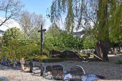 Wilg op kerkhof in Ooij gedeeltelijk omgewaaid