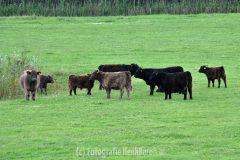 Zeger Stappershoef vangt Galloway runderen op in zijn weiland.