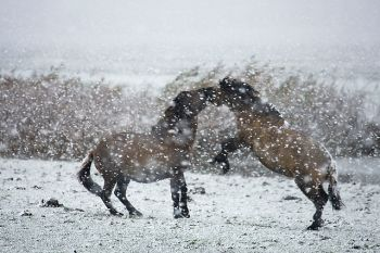 koniks_in_de_sneeuw
