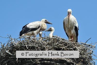 2012-06-14_Ooievaars_Groenlanden_260_A