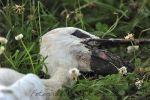 2012-07-02_Groenlanden_jonge_ooievaar_gecrasht_023