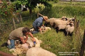DSC_1229 schapen scheren naam